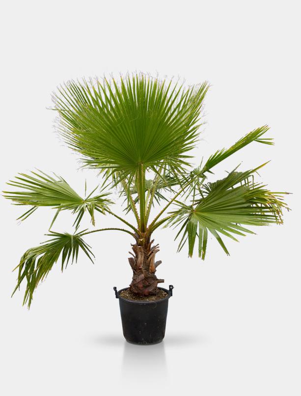 petticoat palme rent a tree. Black Bedroom Furniture Sets. Home Design Ideas