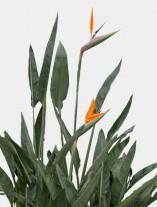 Strelitzia reginae - G1