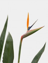 Strelitzia reginae - G2
