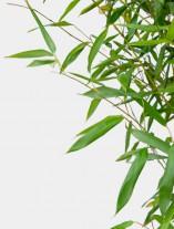 Bambus - G1