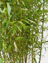 Bambus - G2