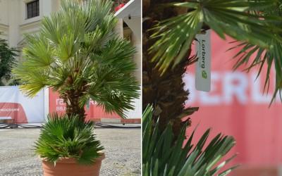 Rent-a-tree_Classic Openair_Hackeschermarkt_Pflanzenvermietung_Pflanzenverleih_Palme_2
