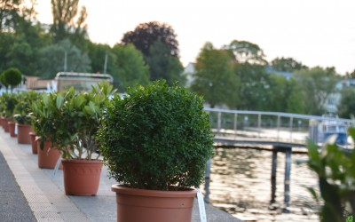 Rent-a-tree_Pflanzenverleih_Gartenfest_Kugelform_Lorberg_4